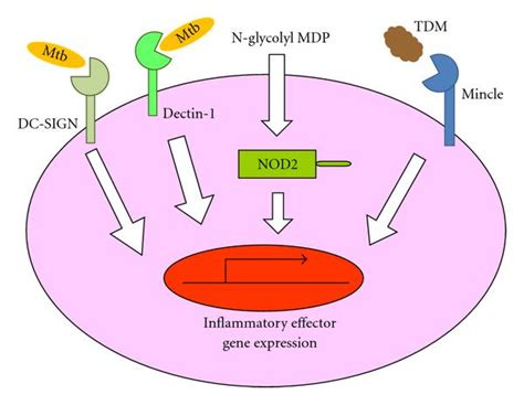 pattern recognition receptor medical definition innate immune effectors in mycobacterial infection figure 2