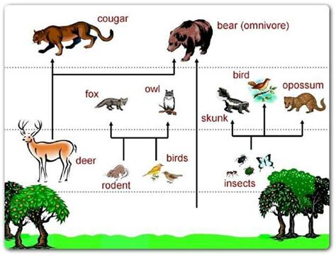 forest food chain diagram rainforest food chains for rainforest food chain