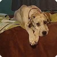 puppies for adoption reno nv reno nv great dane meet jupiter a for adoption