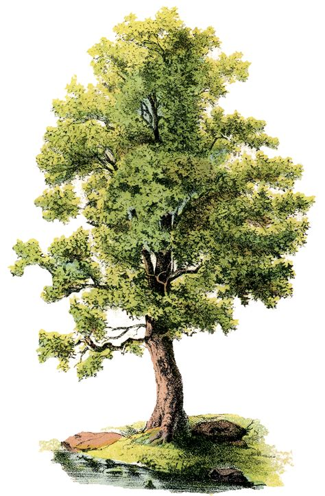 vintage tree antique shade tree image the graphics