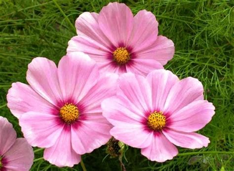 jual bibit benih seed bunga cosmos gloria pink cocok