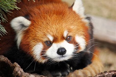 that looks like a fox 1000 images about the fox panda on