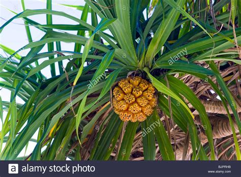 edible palm tree fruit screwpine pandanus utilis pandanuss tree leaves leaf