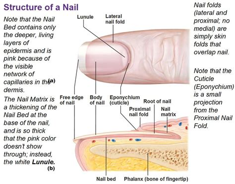 nail bed definition a p lab test 1 at shenandoah university studyblue