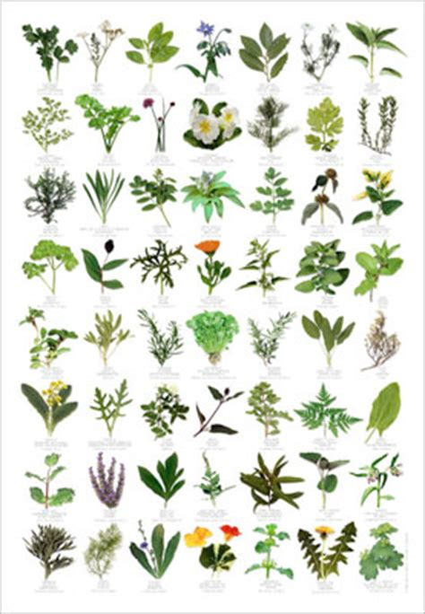 identification of herbs wildr items for sale herb identification poster from wildforms