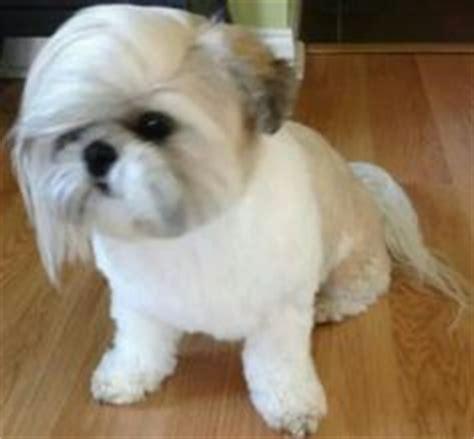 29 best shih haircuts images on pinterest bath cute the donald trump shih tzu cut suzy pinterest