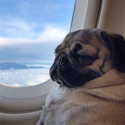pugs on planes 18178 best images about pets aka pug on pug brindle pug