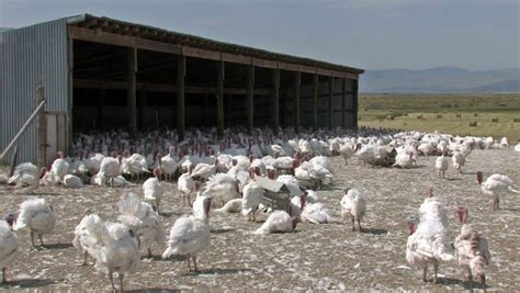 Turkish Clip Doff veterinarian working on chicken farm eggs and poultry production stock footage 3403712