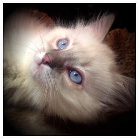 Backyard Breeders Aspca Vanillabelle Ragdolls New York Ragdoll Kittens For Sale Ny