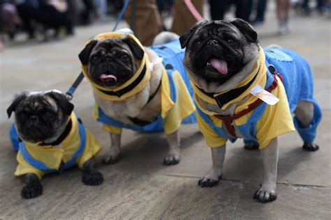 do pugs health issues top vets urge to stop buying trendy pugs who struggle with health problems