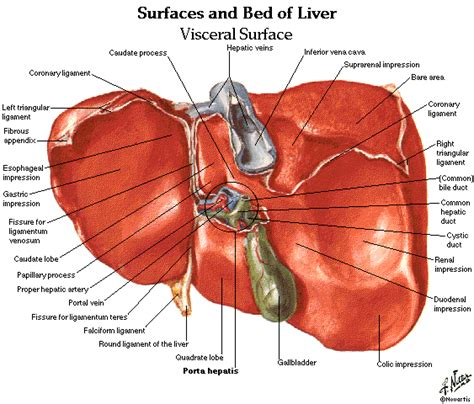 diagram of spleen amudu abdomen spleen liver anatomy and physiology diagrams