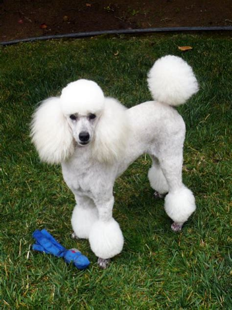 poodle puppy cut miniature poodle cut www pixshark images galleries with a bite