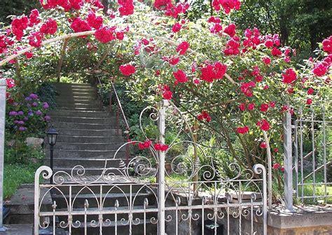 Welche Rosensorten Gibt Es 3544 by Kletterrosen Welche Arten Wie Verwenden Rambler Und