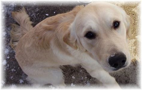golden retriever puppies for sale wausau wisconsin goldendoodles manitowoc breeds picture