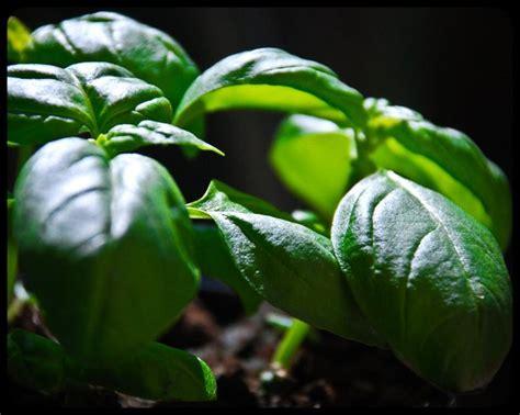 coltivare il basilico in vaso garden primavera