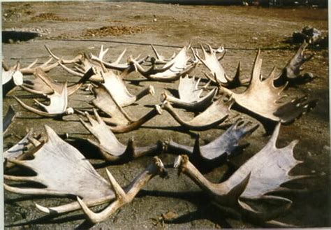 Moose Shed Antlers For Sale by Related Keywords Suggestions For Moose Antlers For Sale