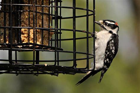 suet feeder tips for backyard birding