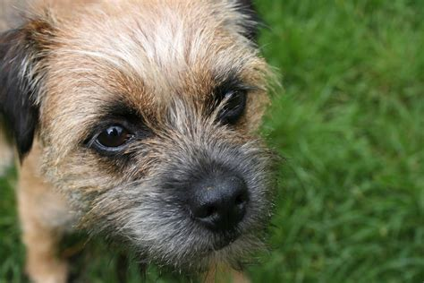 terrier puppies border terriers images border terrier hd wallpaper and background photos 13687133