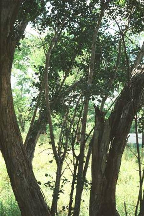 pohon ebony pictures images  fakta  pohon ebony