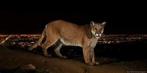 cougars near me save la cougars