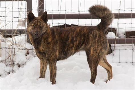 brindle coat the ken also known as the and tora inu tiger is a japanese