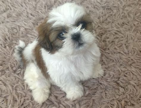 a shih tzu puppy shih tzu puppies 8 weeks ready now shrewsbury