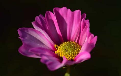 pistillo fiore foto gratis pistillo tenebre fiore natura flora