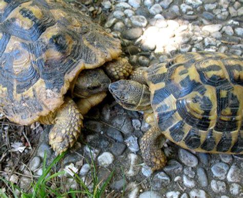 tartaruga hermanni alimentazione testudo hermanni boetgery forum natura mediterraneo
