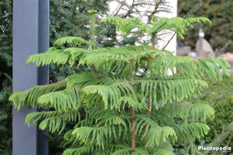 norfolk island pine plant care how to grow araucaria