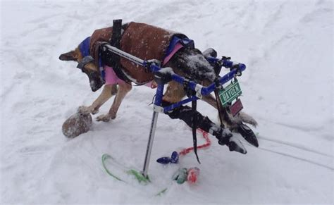 dogs on skis walkin pets ski attachment wheelchairs carts handicapped pets canada