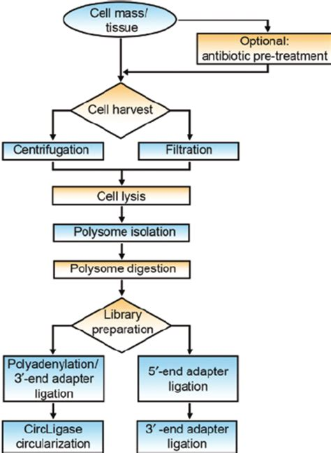 protein exles flowchart of protein synthesis flowchart in word
