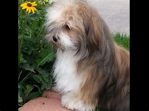 havanese puppies for sale sydney sydney havanese puppies for sale