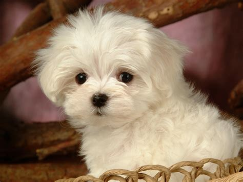 white maltese puppy fluffy maltese puppy dogs white maltese puppies wallpapers 1600x1200 no 5 desktop