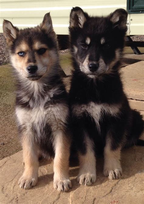 german shepherd husky mix puppies for sale german shepherd mix with siberian husky puppy s coventry west midlands pets4homes