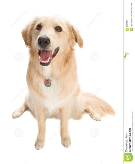 similar to golden retriever golden retriever royalty free stock photo image 14099655 breeds picture