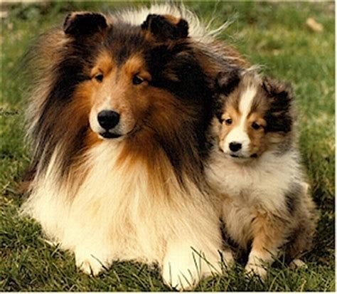 sheltie puppies for sale in nc teacup dogs for sale in nc breeds picture