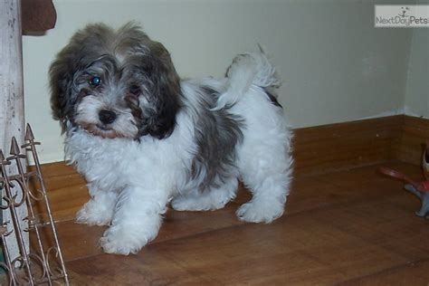 havanese puppies missouri breeds show havanese breeds picture
