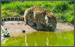 What Animals Do Jaguars Eat Captivating Facts About The Food Jaguars Eat And Their Habitat