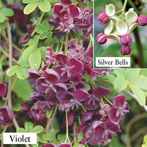 buy silver bells chocolate vine at spring hill nursery