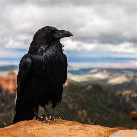 crows  ravens caw