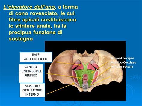 muscolo otturatore interno prof pierluigi paparella ppt scaricare