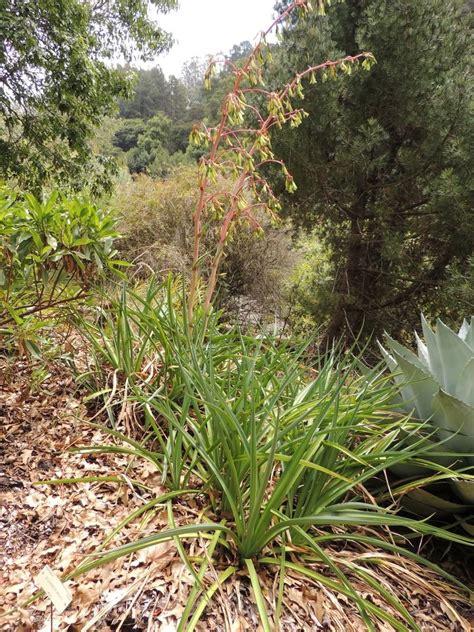 Botanical Gardens Northern California Plantfiles Pictures Beschorneria Beschorneria Wrightii