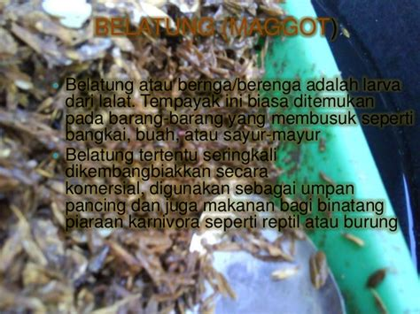 Pakan Alternatif Larva Ikan Lele pakan alternatif untuk lele