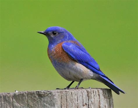 world beautiful birds western bluebirds birds