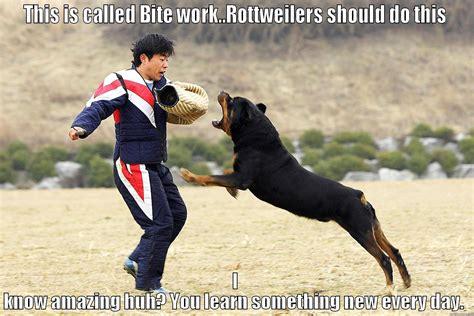 rottweiler working rottweiler a working get outta here quickmeme