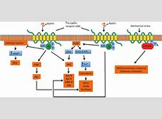 Overview of apelin receptor (AR)-mediated signalling ... G Protein Coupled Receptors Pathway