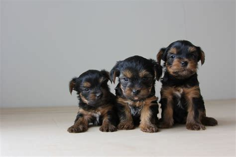 large yorkies for sale terriers for sale thornton heath surrey pets4homes