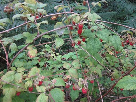 raspberry identification raspberry plant identification