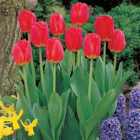 top 28 do tulips need sun or shade fall garden centre fall bulbs lowe s canada lightning