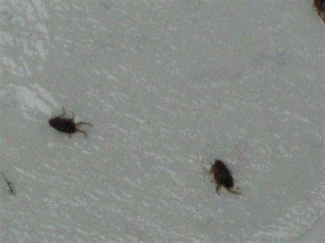 does bed bugs jump do bed bugs jump like fleas 28 images pictures of